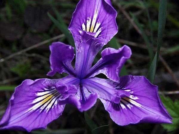 V comme violet, pourpre, mauve