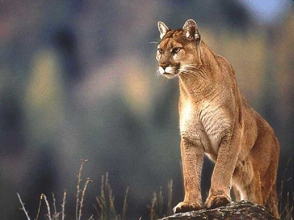 pumas, panthères, lynx, etc ...